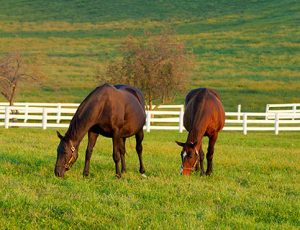 gesunde Pferde grasen auf der Weide